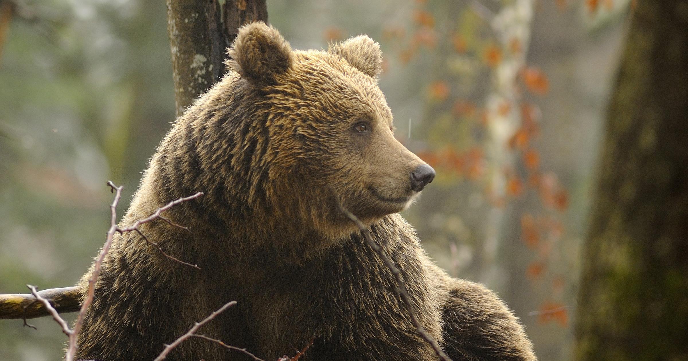 L'orso: colpevole  di esistere!